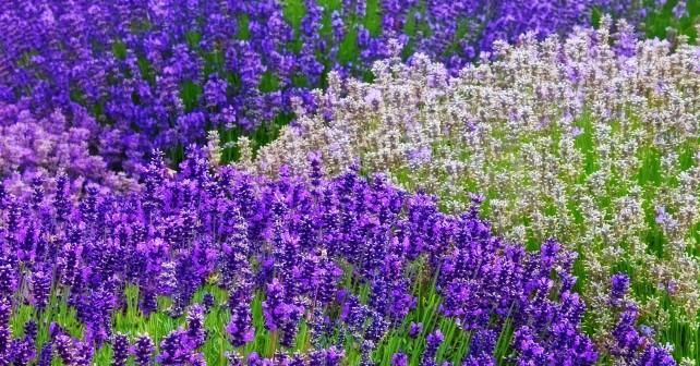 flowers-lavender-1013tm-pic-1723